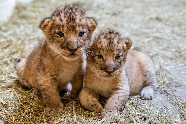 Lion Cubs at Indianapolis Zoo