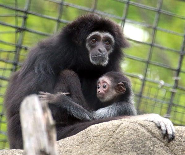 Gibbon Koko with baby at the Indianapolis Zoo